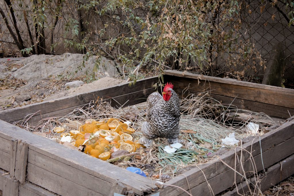 chicken eating from a compost heap