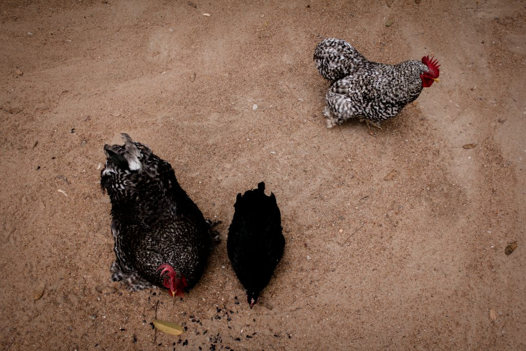 three chickens eating seeds