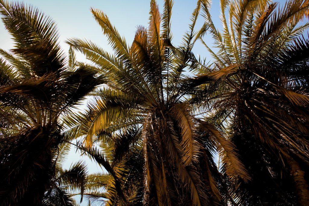 palms in zimbabwe
